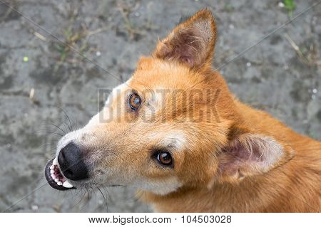 Close up Head stray dog - male