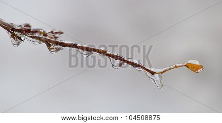 Branch Covered With Ice