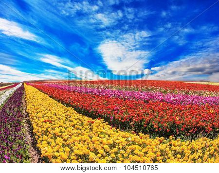 Sunny spring day in the south of Israel. Huge fields of garden buttercups /ranunculus/  ripened for harvesting