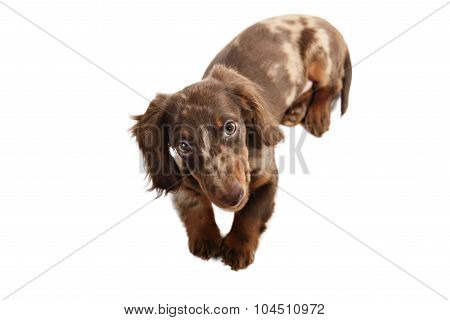 Puppy Dachshund On A White Background