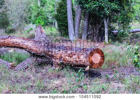 Pine tree were cut deforestation in national park.