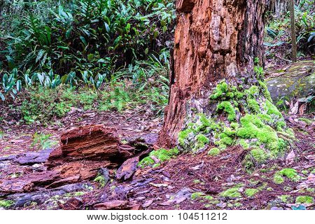 Rotten pine tree and moss in forest.