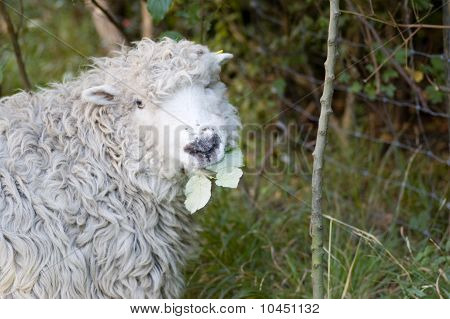 Greyface Dartmoor Sheep eating