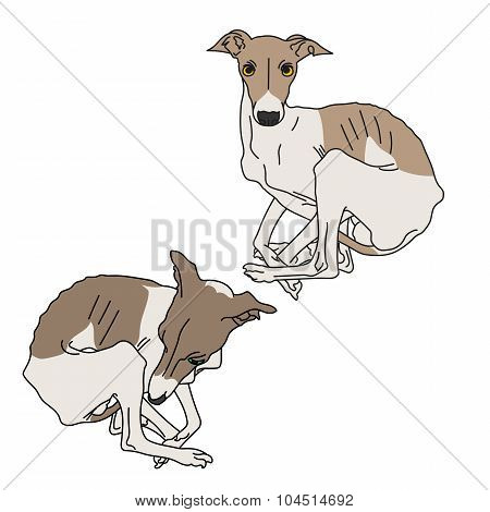 Illustration of two Italian greyhound spotted