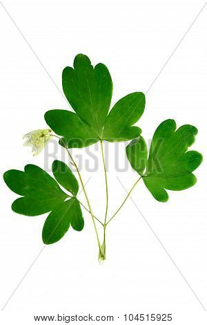 Pressed And Dried Bush With Delicate Transparent Flower Aquilegia Vulgaris.