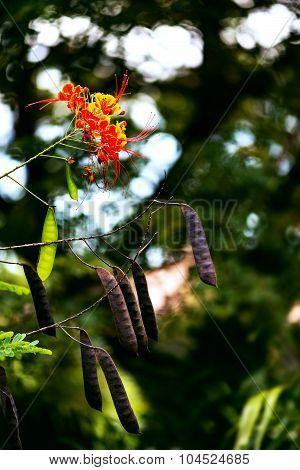 Caesalpinia bird of paradise flower in the Caribbean Tobago