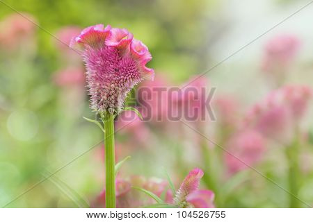 Cockscomb Flowers Soft  Background