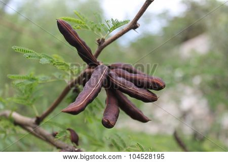 Fruits of acacia pods are brown on a tree