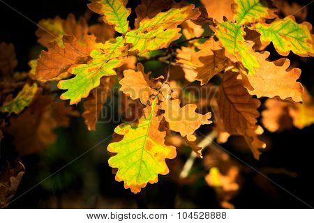 Abstract autumn oak leafs - soft photo
