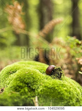 Chestnut On Moss