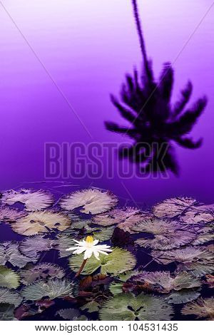 Water lily pond at late sunset silhouette Tobago Caribbean