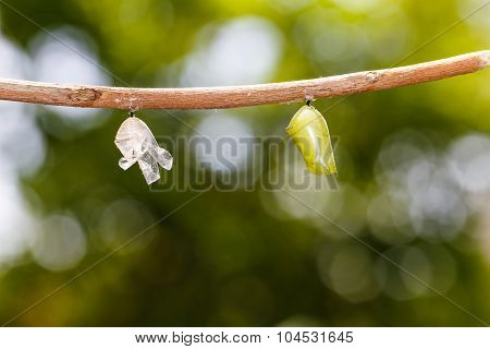 Chrysalis And Shell Of Common Tiger Butterfly