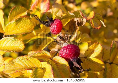 Rosehip Berries On The Twig, Natural Autumn Season