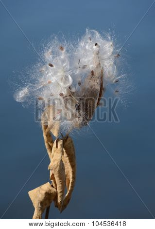 Milkweed pods with seeds and silk