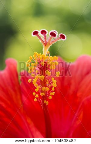 Hibiscus flower red macro stamen pistil single center tropical