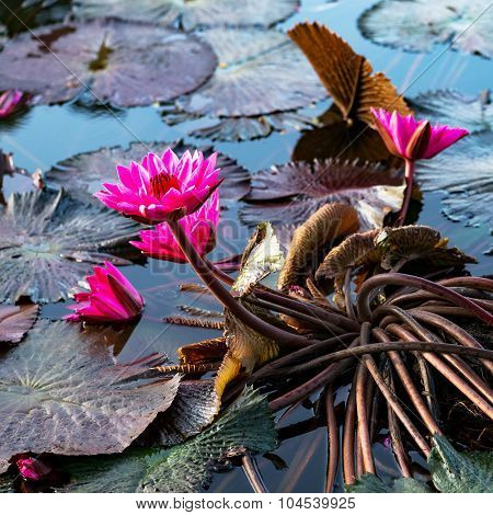 Pink exotic water lilies in tropical pond Tobago square