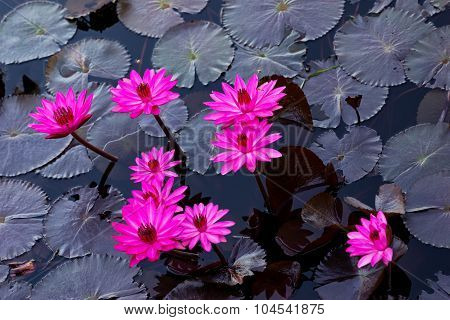 Pink water lillies in a natural pond in Trinidad and Tobago