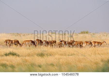 Wild Saiga Antelope Herd In Kalmykia Steppe