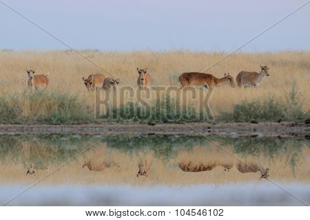 Wild Female Saiga Antelopes In Steppe Near Watering Pond
