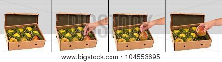 Freshly picked Williams (Bartlett) pears in box