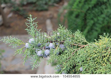 Juniper cones with green coniferous plant