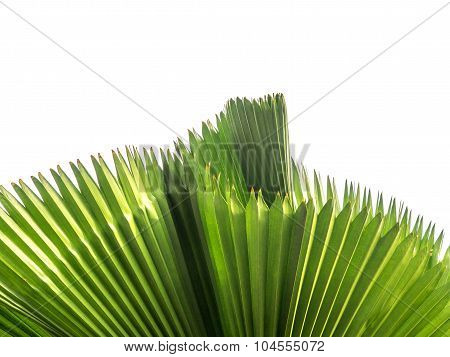 Green Color Of Palm Leaf (sugar Palm Leaf) Abstract Background.