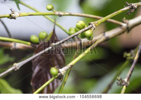 Coffe Tree With Leaves Close Up