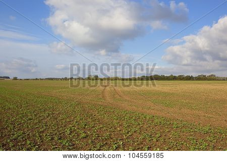 Seedling Rapeseed Crops In An Autumn Landscape