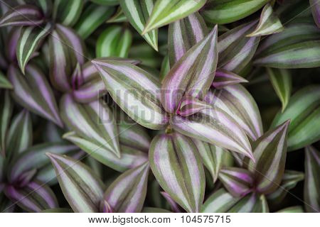 Background made of wandering jew plant