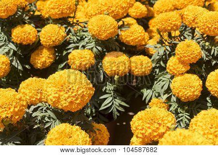Cempasúchil Flower