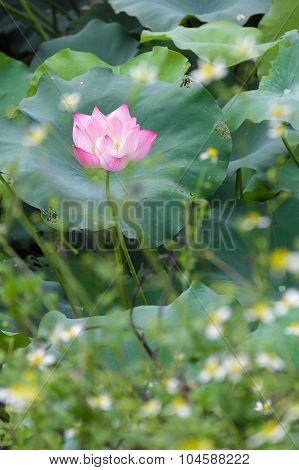 Beautiful lotus in a natural pond (Vietnam)
