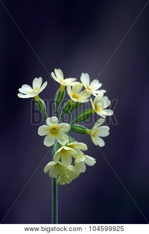Close up of Oxlip flower