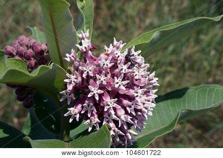 Japanese Beetle in a Milkweed Flower