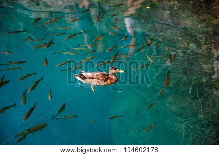 One duck and fishes in clear water of Plitvice Lakes, Croatia