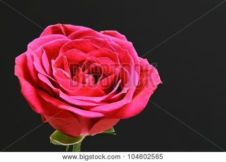 Red Isolated Rose