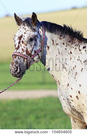 Portrait of Altai native breed horse piebald or pied suit.