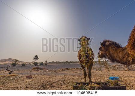 Africa, morocco - two camels eating in sahara desert, merzouga (strong back light effect)