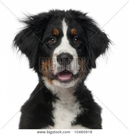 Bernese Mountain Dog, 5 Months Old, In Front Of White Background