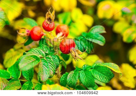 Red Dog-rose Berries On Bush