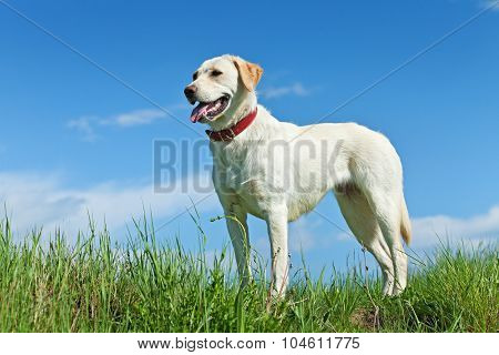 Dog Standing On The Field In Springtime
