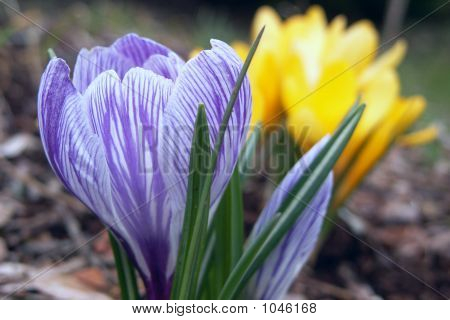 Purple And Yello Crocuses