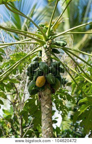 Green Papaya On The Tree, Bali Indonesia