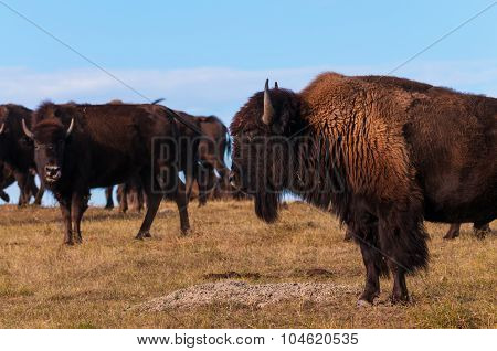 Badlands Bison Profile