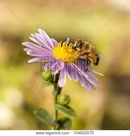 closeup honey bee on blue New York aster
