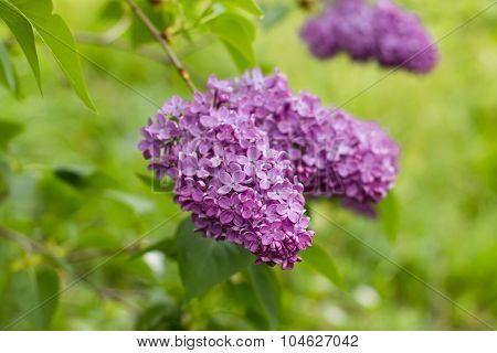 Blooming Spring Flower Lilac