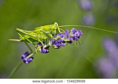 green grasshopper at lavander