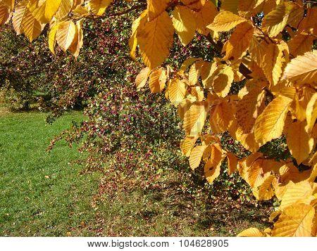 Hornbeam Branch And Hawthorn