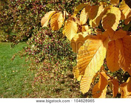 Hornbeam Leaves And Hawthorn