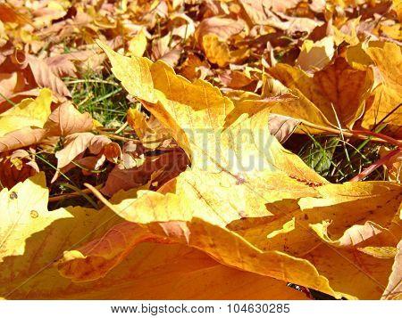 Dry Maple Leaves