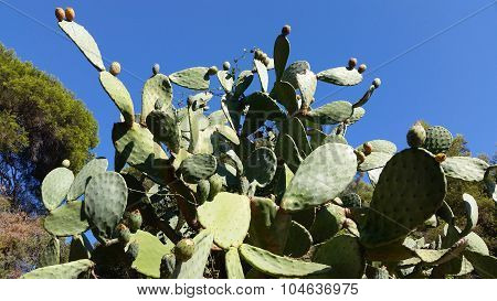 Prickly Pear Cactus Against Blue Sky